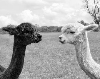 Animaux Art Print, alpaga photographie, impression, toile Galerie Wrap, photographie animalière, Black & White, Couple, monochrome Art - nez à nez