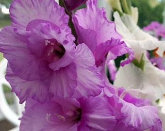 Wildcat Large Flowering Gladiolus Bulbs - 8 Bulbs 14/+ cm