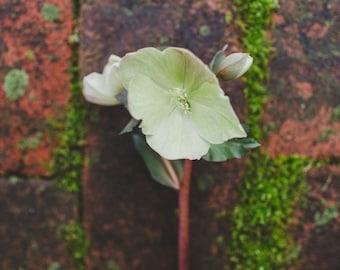 Fine Art Print, Flower Photo, Floral Art, Mossy Bricks, Spring Art, Hellebore Flower Art, April, Nature Art, Cottage Chic Art, Botanical Art
