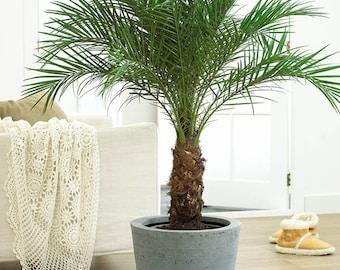 Pygmy Date Palm 2-3 Foot