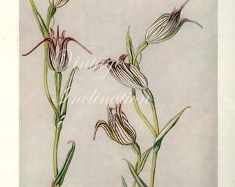 Vintage Botanical Print Antique Shell Orchid Flowers, purple plant print botanical lithograph print bookplate wall art flower plants