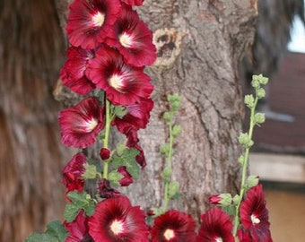 Rare Scarlette Red Hollyhock Seeds Perennial Giant Flower Garden Plant Spring Summer Fall Holly Hock Blooms Yard 139