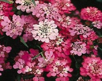 Iberis, Candytuft Red Flash 30 Seeds-bloom 2 months after sowing/fragrant/