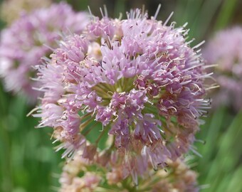 20    Allium nutans Seeds, Siberian chives or blue chives Seeds