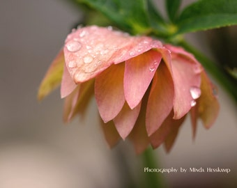 Hanging Gardens, flower photo, macro photography, close-up flower, water drops, garden photo, nature photography, pink art, nursery artwork