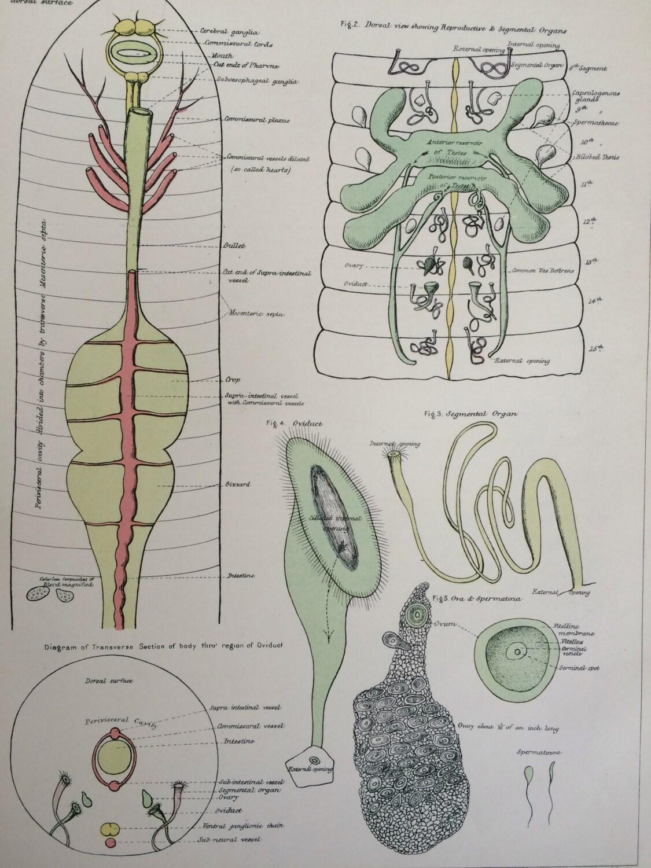 1881 Original Antique Biology Print 95 X 12 Inches Earthworm