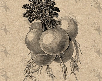 Vegetable Radish vintage Image Instant Download picture Digital printable clipart graphic Stickers Burlap Fabric Transfer Iron On  HQ 300dpi