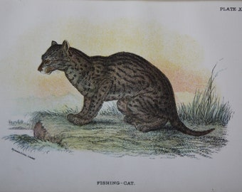 antique print of a fishing cat 1896