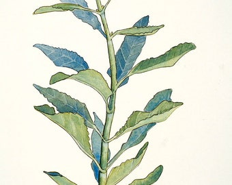 Sage Elixir - locally harvested - fatigue, nerves, anxiety, depression, pain, colds, gums, inflammation, headache, digestion, weaning