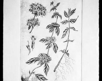 Pennyroyal Original Fine Art Etching Print/Artist Proof (Botanical Illustration)