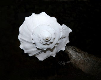 "Wall Art ""Conch"". Photography Giclée Print. Seashell Nature Photography. White Conch Shell"