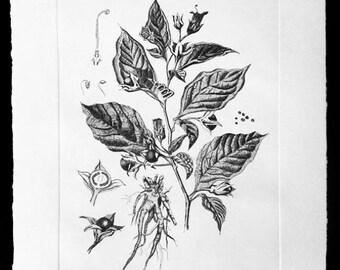 Atropa Belladonna (Deadly Nightshade) Original Fine Art Etching Print (Editioned Botanical Illustration)