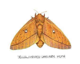 Yellowstriped Oakworm Moth (Anisota peigleri)