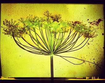Aluminum Photo Panel: Single Green Dill Blossom, 11x14 Panel