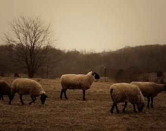 Sheep, lamb, tree, winter, photography, gold, gray, brown, black, beige, farmhouse, farmhouse decor, primitive