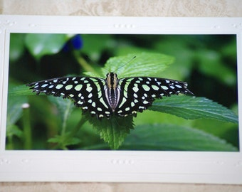 Tailed Jay  Butterfly photo card 5x7, blank inside, home decor, nature photography