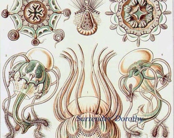 Narcomedusae Jellyfish Formations Haeckel Print In Pale Green & Brown Natural History Oceanography Victorian Scientific Lithograph To Frame