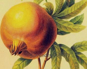 Pomegranate Punica Granatum Redoute Vintage Fruit Botanical Lithograph Print To Frame 99