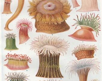 Vintage Sea Anemone Ocean Print 1920 1554, antique lithograph