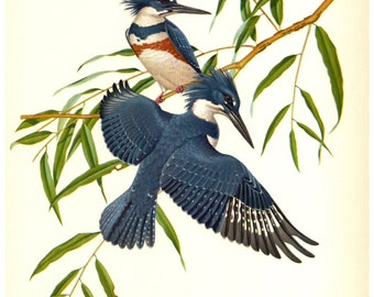 Eastern Belted Kingfisher Print by Athos  Menaboni - Book Plate - Vintage Wall Hanging