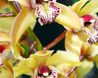 Yellow Orchid Photograph