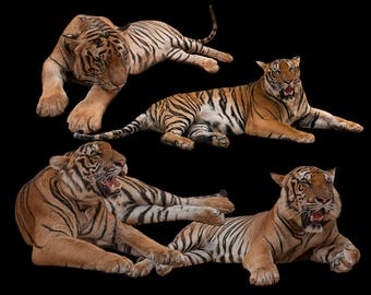 Tiger Overlay for Photography