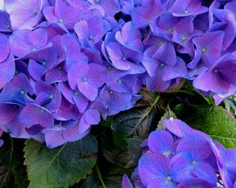 digital photograph of a blue hydrangea