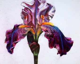 Iris in Lilac and Magenta Archival Print