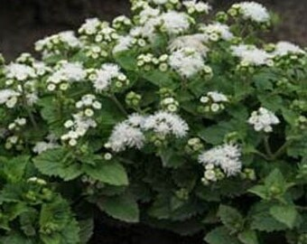 White Ageratum Flower Seeds/Mexicanum/Annual   50+