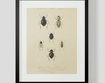 Vintage Insect Coleopteres Entomology Plate 7A