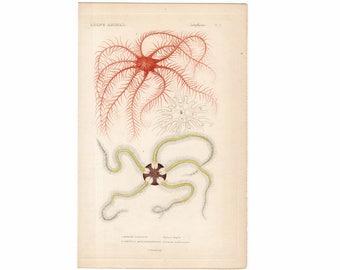 1836 STARFISH PRiNT - sea star engraving - original antique sea life ocean marine animal print - ophiura fragilis & comatula mediterranen