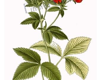 Flower Prints - Roses