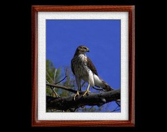 Cooper's Hawk Print - 8x10 or 11x14 Cooper's Hawk Photograph - Bird Photograph - Bird Print - Hawk Art (P55)