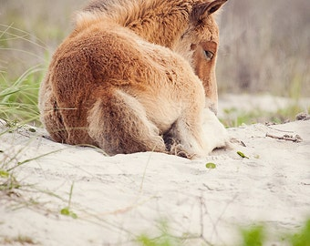 Wild Horse Photography, a wild horse foal sleeping on the sand dunes of Shackleford Island North Carolina