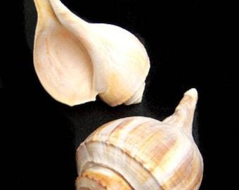 Channel Whelk Seashell  (EA)