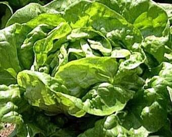 Salat Kopfsalat Buttercrunch Erbstück Samen nicht-GVO, die natürlich gewachsene offen bestäubt Gartenarbeit