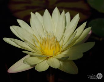 """Five (5) Nature / Cream Waterlilies Photo Note Cards (4.25"""" x 5.5""""), blank inside with envelopes"""