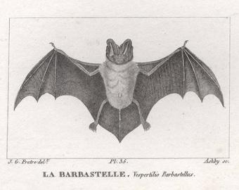 Barbastelle Bat (La Barbastelle) - Antique French animal engraving, c1815.