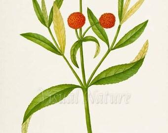 Buddleja Globosa Flower Art Print, Botanical Art Print, Flower Wall Art, Flower Print, Floral Print, Orange Ball Tree, orange flower art