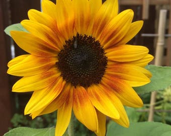SAVE STRAY CATS: Sunflower (Helianthus annuus) seeds