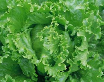 Salad Seeds Crisp Iceberg Organic Vegetable Seed#659