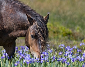 Sable Island Stallion in the Flowers - Fine Art Horse Photograph - Horse - Sable Island - Wild Horse  -Fine Art Print