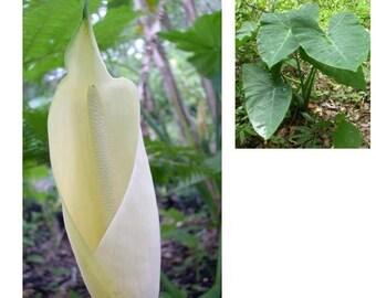 Elephant Ear Bulbs - Leaves 12 Inches in Length 15, 20, 25, or 30 bulbs