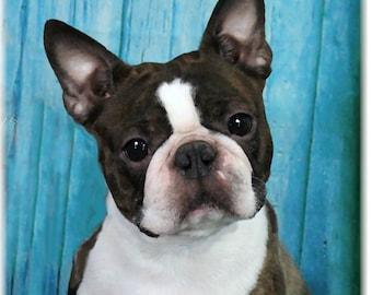Boston Terrier 12-17