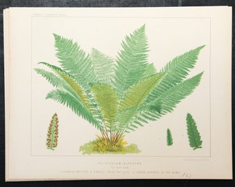 Antique Fern Print. Alpine Polypody Fern, 1880 Antique Botanical Print, 1880 Colour Chromolithograph