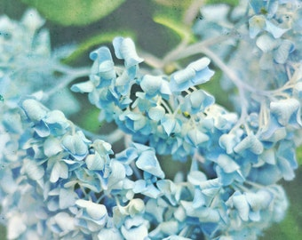Blue Flower Photography - Thirsty Hydrangea - 8x10 fine art print - blue green pastel floral rustic cottage chic home decor