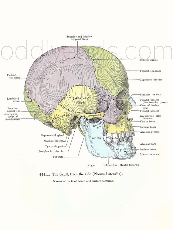 década de 1940 cráneo anatomía humana Original Vintage Print