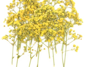 Pressed flowers, yellow baby breath, gypsophila 20pcs for floral art, craft, card making, scrapbooking