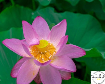 "Magnificent Flower Shot - ""Saluting Lotus"" - Fine Art Photograph  (9.5"" x 13.25"" Print on 14"" x 18"" Board)"