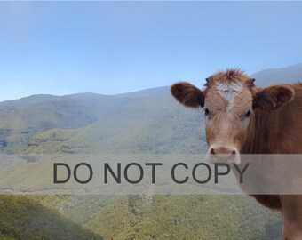 Cow Downloadable Photo/Print, Madeira, Mountains